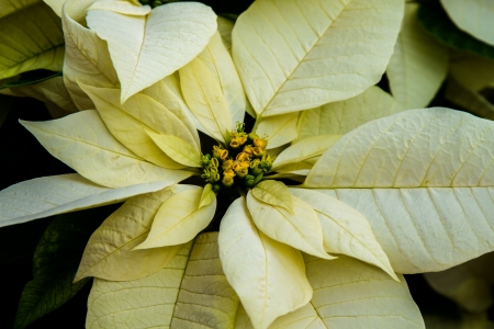 rosids: Closeup of white poinsettia and yellow buds Stock Photo