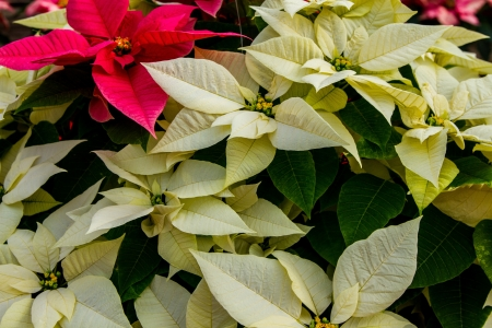 rosids: White and red poinsettias with green folliage showing