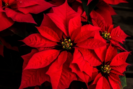 rosids: Beautiful red poinsettia with yellow buds