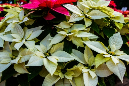 rosids: Several white poinsettias with yellow buds mixed in with red flowers