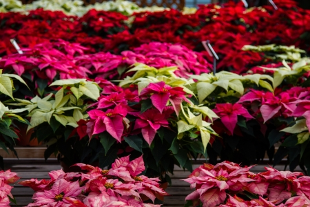 bracts: Colorful poinsettias in a green house