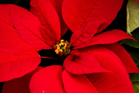 rosids: Colorful poinsettias in a green house