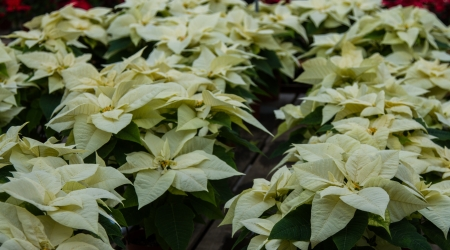 rosids: Table of white poinsettias in a green house Stock Photo