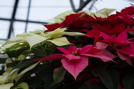 rosids: Hanging pot of mixed Poinsettias, white, pink, red with green folliage