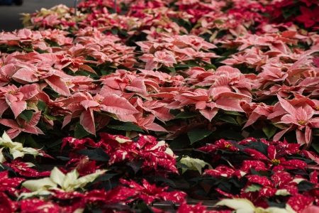 rosids: Hugh lot of different colored poinsettias in a wholesale distributor