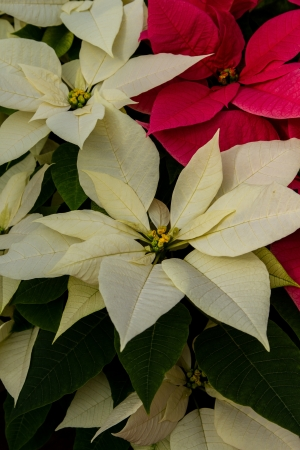 bracts: White and red poinsettias with green folliage showing, vertical Stock Photo