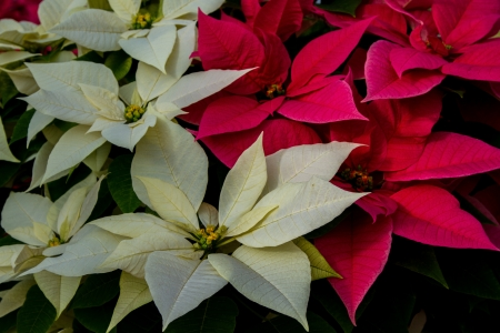 rosids: Landscape shot of mixed colorful white and red poinsettias Stock Photo