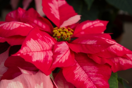 rosids: Closeup of red variegated Poinsettia with yellow buds shot landscape