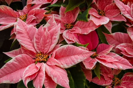 rosids: Pink Marble Poinsettia, with green folliage, and yellow buds on the flowers
