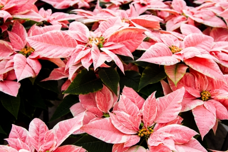 Table of pink marble Poinsettias shot landscape with green folliage photo