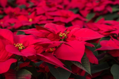 rosids: Sea of red Poinsettias with some green folliage shot landscape