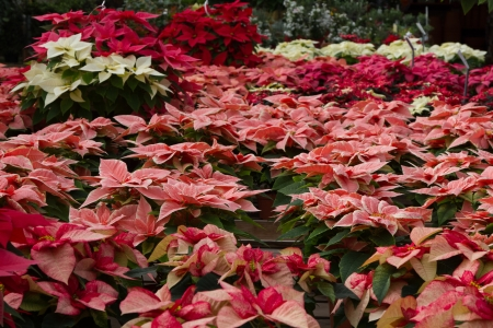 rosids: A sea of colorful Poinsettia plants shot landscape with hanging basket in a green house Stock Photo