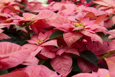 rosids: Landscape shot of pink poinsettias, with yellow buds and green folliage