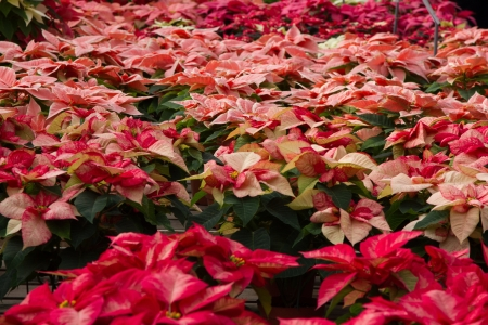 bracts: Sea of colorful Poinsettias