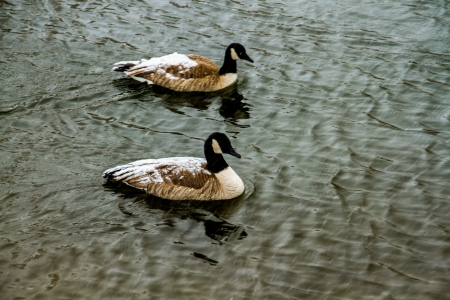 Two Canada Geese in a pond in the winter with snow on their backs photo