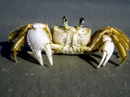 gills: Closeup of a Ghost Crab or Fiddler crab on a brown sandy beach