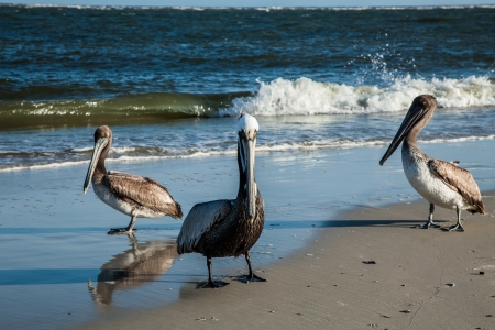 chordata: Three Pelicans stand on the beach in Indian Pass, Florida on the Gulf of Mexico