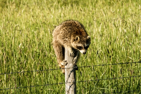 Raccoon perched on a barbed wire fence post with lush green field in the background