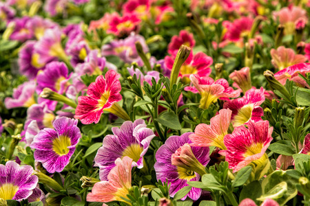 hot house: A bed of colorful petunias in a hot house in the spring Stock Photo