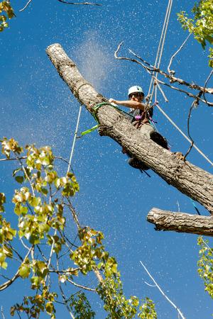 cottonwood tree: Arborist trimming cottonwood tree with chainsaw