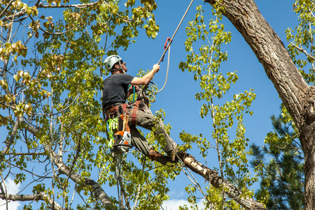 Arborist climbing cottonwood tree with ropes and harness