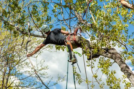 cirujano: Especialista en árboles que suben el árbol de álamo y dejando caer la rama Foto de archivo