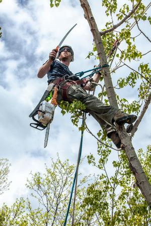 Arborist trimming cottonwood tree with hand saw Foto de archivo