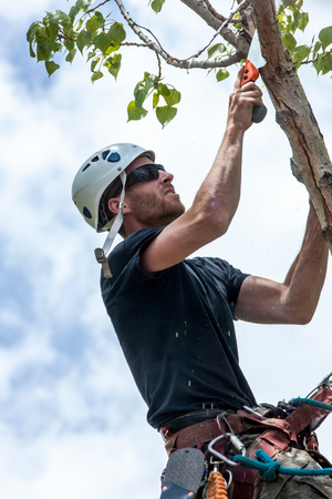tree trimming: Arborist trimming cottonwood tree with hand saw Stock Photo
