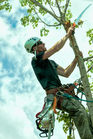 Arborist trimming cottonwood tree with hand saw Zdjęcie Seryjne