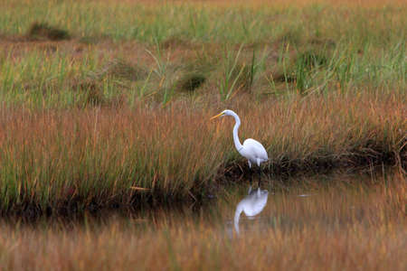 Whte Heron in Maine Marsh