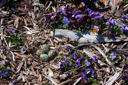 plover: Plover Eggs with Viola Blooms