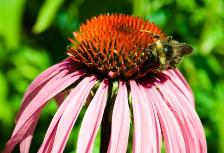 Bee gathering pollen from a flower Stock Photo