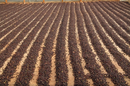 cacao beans drying in a row