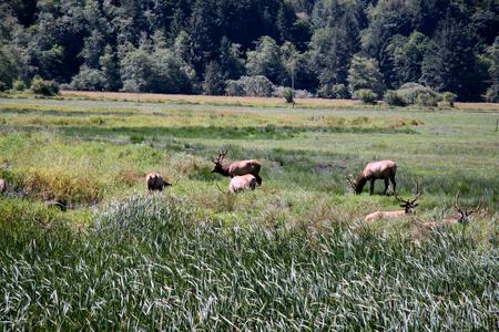 Roosevelt elk herd of bulls in a meadow Reklamní fotografie