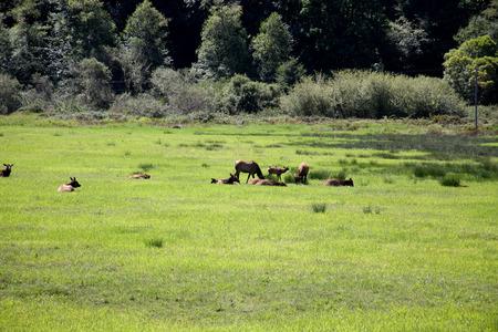 Roosevelt elk herd of cows in a meadow