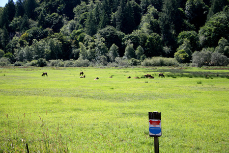 trespass: Roosevelt elk herd of cows in a meadow with no trespass sign