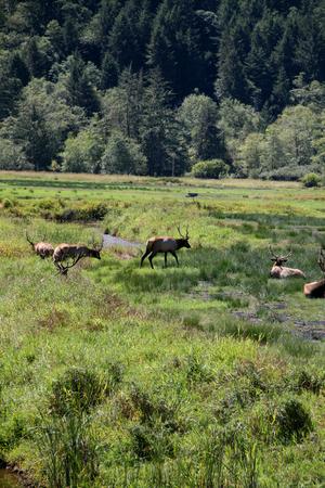 roosevelt: Roosevelt elk herd of bulls in a meadow Stock Photo