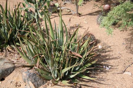 aloe plant Reklamní fotografie