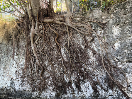 exposed roots of a tree on a wall growing