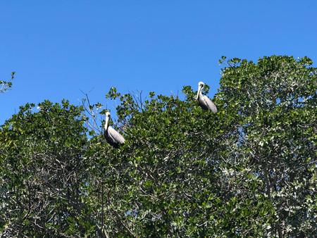 pelicans roosting in trees blue sky