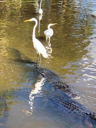 Ibisreiher, der in der Nähe von Alligatoren steht