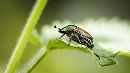 A small Japanese beetle stands alone on a green leafy plant