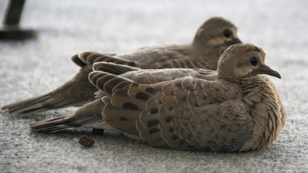 Two fluffy brown and spotted baby mourning doves huddle together on a patio and watch the world with their large dark eyes.