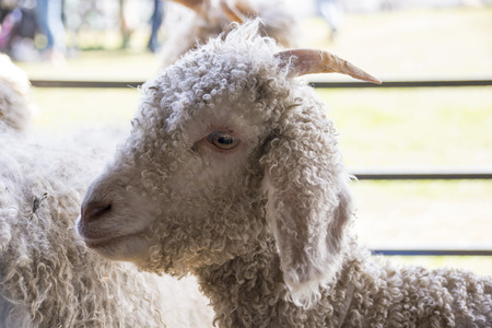 A young angora goat with a curly coat and long horns stands in a pen at an agricultural fair.