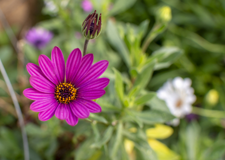 A beautiful purple African Daisy raises its face to the warm summer sunshine. Banco de Imagens