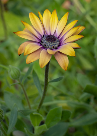 A beautiful yellow and purple African Daisy flower in a field of green.