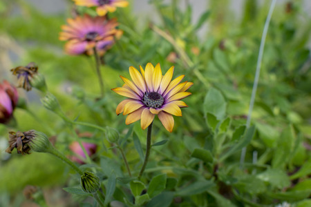 Beautiful yellow and purple African Daisy flowers in a field of green.