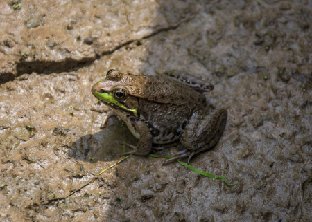 A spotted brown frog with green accents basks in the sunlight in a wet and muddy Virginia wetland. Reklamní fotografie