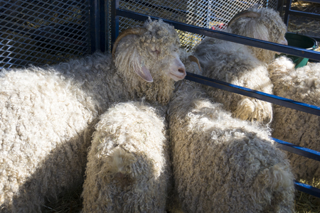 A group of white angora goats huddle together in a cage at an agricultural fair. Reklamní fotografie