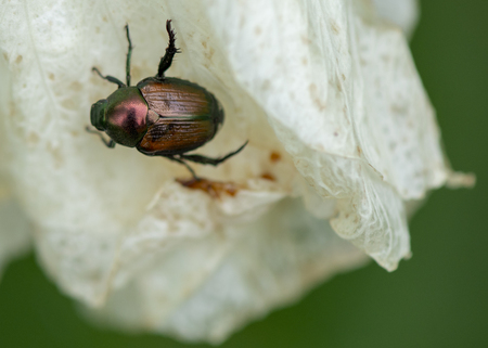 A small Japanese Beetle with a red and brown shiny shell clings to a white petal of a flower. Reklamní fotografie